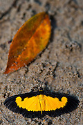 Butterfly on riverbank<br /> Mapari<br /> Rupununi<br /> GUYANA<br /> South America