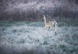 © Licensed to London News Pictures. 04/11/2020. London, UK. A deer runs through a frost covered landscape at sunrise in Richmond Park, south west London on a cold Autumn morning. Photo credit: Ben Cawthra/LNP