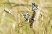 Chalkhill blue butterflies (Lysandra coridon) roosting in tall grasses. Denbies Hillside, Nr. Dorking, Surrey, UK.