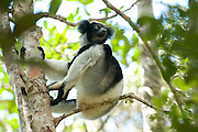 Indri, Indri indri, sitting in tree, Analamazaotra Reserve, Madagascar, IUCN Red Data List, Critically Endangered, also called the babakoto, is one of the largest living lemurs. It is a diurnal tree-dweller related to the sifakas and, like all lemurs, it is native