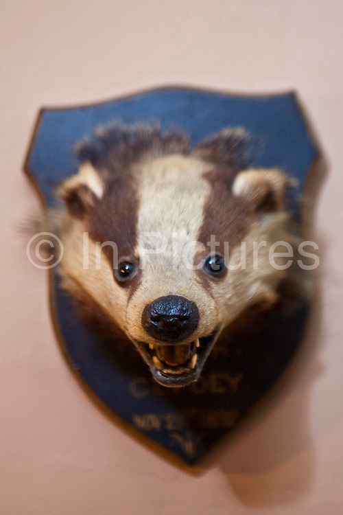 A stuffed otter animal trophy head. Llanerchaeron, Wales, UK. From a display at Llanerchaeron House, a building in Wales that was used by Victorian hunters for socializing and lodging. The building is now owned and preserved by the National Trust.