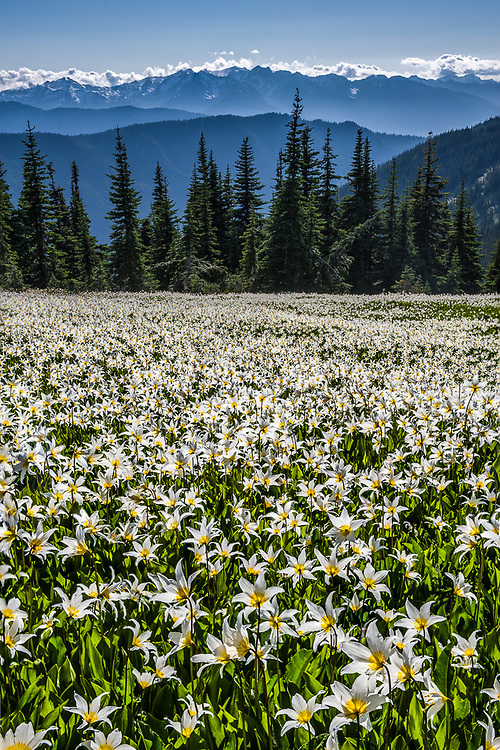 Alpine meadow populated with avalanche lilies (Erythronium montanum), afternoon light, July,  Bailey Range in the distance, Elwha River watershed, Olympic National Park, Clallam County, Washington, USA