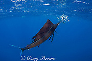 Atlantic sailfish, Istiophorus albicans, attacking bait ball of Spanish sardines (aka gilt sardine, pilchard, or round sardinella ), Sardinella aurita, off Yucatan Peninsula, Mexico ( Caribbean Sea ) #2 in sequence of 3 images