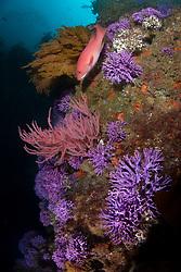 Pacific Sheephead, Semicossyphus pulche, purple hydracoral,  Stylaster californicus, signature scenery at Farnsworth Bank, California, Pacific Ocean