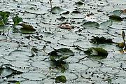 Lily pads on Gatun Lake, Panama, Central America, Gamboa Reserve, Parque Nacional Soberania