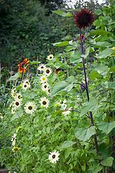 Helianthus debilis 'Vanilla Ice' - syn. Helianthus cucumerifolius with dark red sunflower and beans in the vegetable garden