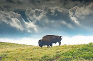 Bison, Waterton Lakes National Park