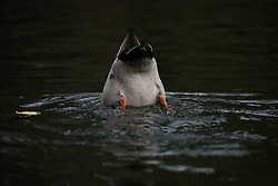 May 5, 2019 - Christchurch, New Zealand - A duck dives for food at North Hagley Park in Christchurch, New Zealand on May 05, 2019. (Credit Image: © Sanka Vidanagama/NurPhoto via ZUMA Press)