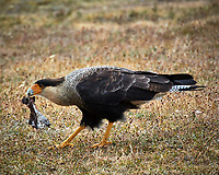 Southern Caracara. Image taken with a Nikon N1V3 camera and 70-300 mm VR lens (ISO 160, 300 mm, f/6.3, 1/320 sec).