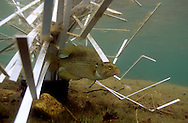 Male Rock bass guarding spawning nest under a Fish Hiding Structure.<br /> <br /> ENGBRETSON UNDERWATER PHOTO