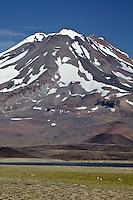 VOLCAN MAIPO Y GUANACOS (Lama guanicoe), RESERVA NATURAL LAGUNA DEL DIAMANTE, PROVINCIA DE MENDOZA, ARGENTINA