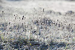 Seedheads in the chalk grassland at Strawberry Banks Nature Reserve, Gloucestershire on a frosty winter's morning. Betony, Stachys officinalis