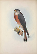 American kestrel (Falco sparverius) from Zoologia typica; or, Figures of new and rare animals and birds described in the proceedings, or exhibited in the collections of the Zoological Society of London. By Fraser, Louis. Zoological Society of London. Published London, March 1847