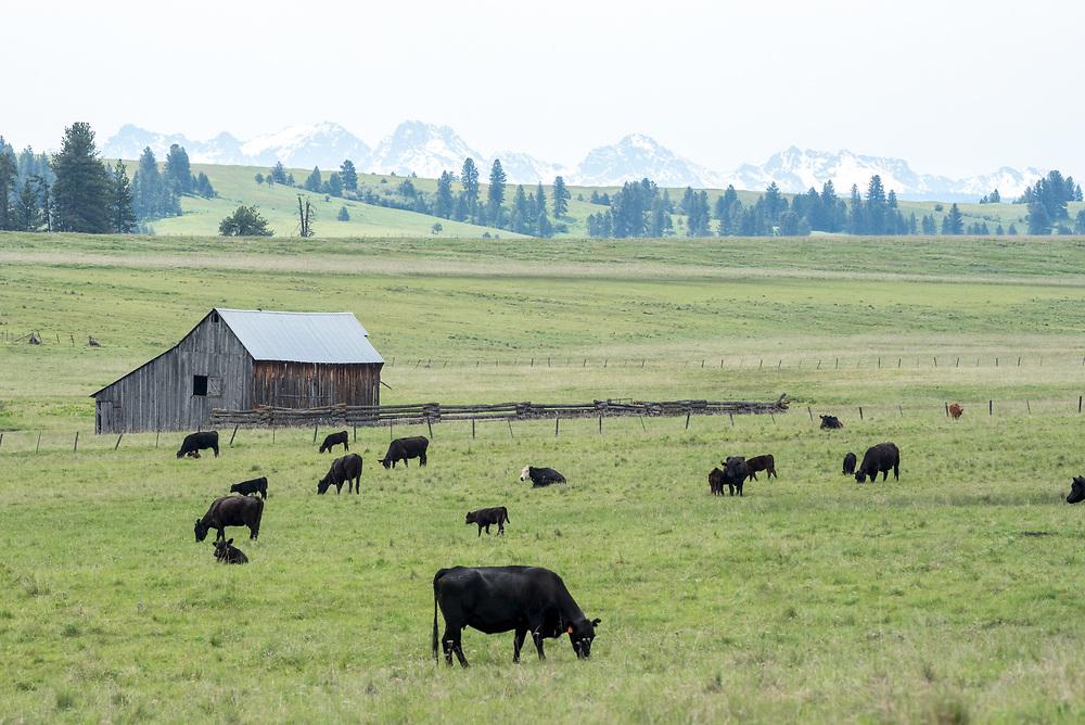 Cows grazing in a meadow in Northeast Oregon.