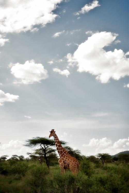Reticulated giraffe in Samburu National Reserve, Kenya.