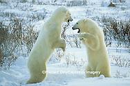 01874-06519 Polar Bears (Ursus maritimus) sparring  Churchill MB
