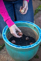 Planting tulip bulbs in a pot