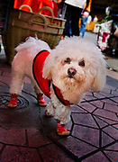 Dressed up dog in the Chinese New Year Celebrations in Thanon Yaowarat, the main thoroughfare which threads through Bangkok's Chinatown, Thailand.