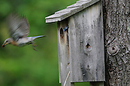 Female eastern bluebird leaving the nestbox in upstate, NY.