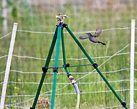 Gray Catbird (Dumetella carolinensis). Image taken with a Nikon D5 camera and 600 mm f/4 VR lens.