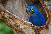 Pocone_MT, Brasil...Detalhe de uma Arara-azul (Anodorhynchus hyacinthinus) no Pocone no Pantanal, Mato Grosso...A blue macaw (Anodorhynchus hyacinthinus) in Pocone  in Pantanal, Mato Grosso...Foto: JOAO MARCOS ROSA / NITRO.