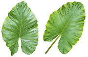 two large leafs of the Alocasia plant. A tropical house plant on white background