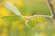 Puss moth larva (Cerura vinula) 5th instar on scrub willow with bog asphodel backdrop. Thursley Common, Surrey, UK.