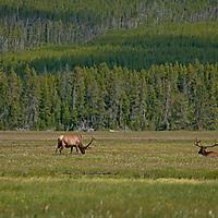 Bull Elk (Cervus canadensis) graze in Elk Park Meadows in Yellowstone National Park.