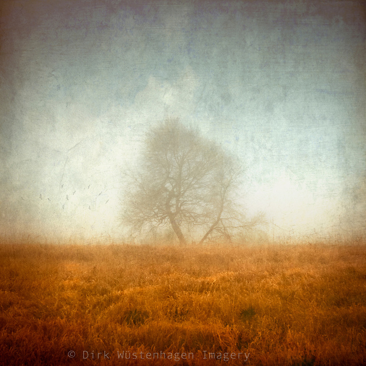 Lone tree in the fog in the high moor of the High Fens, Belgium