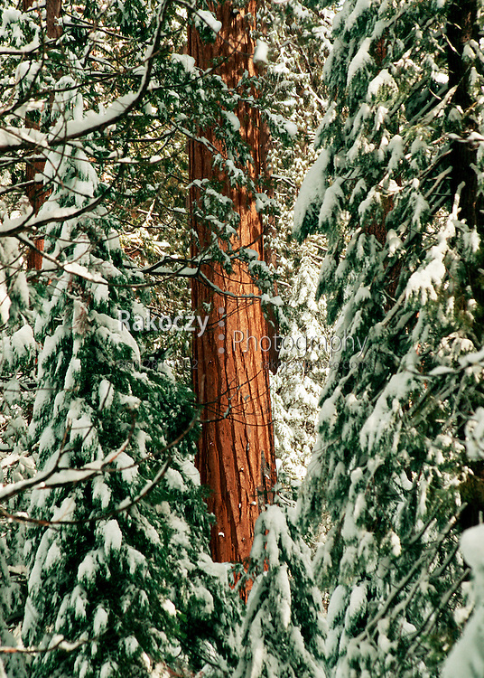 Redwoods surge past snow laden branches in Mariposa Grove in Yosemite.