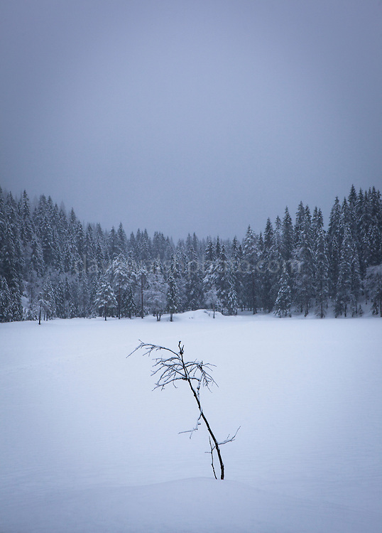 Lone tree in the forests near Tryvann, not from the Norwegian capital, Oslo