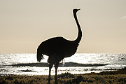 """An Ostrich foraging on the vegetated shore of Cape of Good Hope, one of the great capes of the South Atlantic Ocean, south of Cape Town. This cape has long been of special significance to sailors, many of whom refer to it simply as """"the Cape"""" - It is a waypoint on the clipper route followed by clipper ships to the Far East and Australia."""