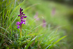 Early Purple Orchid. Orchis mascula