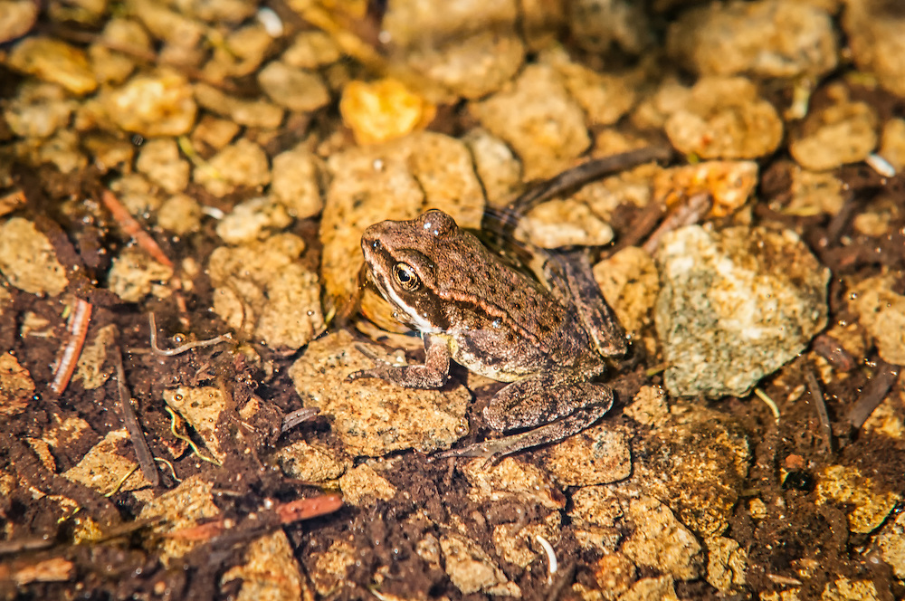 The Cascades frog is a high altitude-loving frog found in both theCascade and Olympic mountains of the Pacific Northwest. This one was seen in August in Washington's Stevens Pass near the edge of a beautiful and remote subalpine mountain lake.
