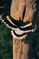 Great Hornbill (Buceros bicornis) landing at his nest..Khao Yai National Park, Thailand