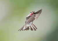 Male Anna's hummingbird, Calypte anna. Alameda County, California