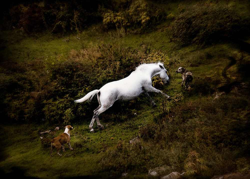 Horse defending himself from attack of dogs