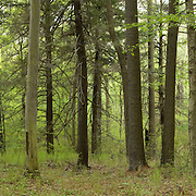 Thick deciduous and coniferous forest of Eastern Massachusetts