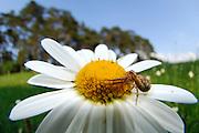 Braune Krabbenspinne (Xysticus cristatus), auch Busch-Krabbenspinne genannt   crab spider (Xysticus cristatus)