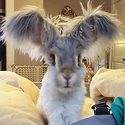 """Meet Wally, the bunny with wing-like ears who has captured the hearts of thousands with his precious pictures<br /> <br /> Meet Wally, the bunny with wing-like ears who has captured the hearts of thousands with his precious Instagram pictures<br /> <br /> 'He's a beautiful little creature and a wonderful pet.'<br /> Wally's account is full of images of the young bunny rabbit enjoying the good life, lounging around at home, frolicking in the garden, and playing hide and seek.<br /> Molly also posts videos of her adorable, and a recent clip of her pet flopping over was liked more than 2,000 times.<br /> The adorable bunny was also filmed 'making a collage' as he used his teeth to tear through colorful paper and pick up a roll of tape. <br /> 'Awww this made my day. I love seeing what that precious bunny is up to everyday. I still vote Wally should have his own tv show [sic],' one fan commented on the video, while someone else added: 'So crafty!'<br /> <br /> But by far the most popular posts on the account are the videos of Wally flaunting his impressive ear-span, while leaping into the air, be it for fun - or to grab at a piece of food. <br /> One video, which was posted three weeks ago, shows the young bunny leaping into the air in slow motion, while his ears flap slowly around his face. <br /> It was captioned: '""""LOOK WHAT I CAN DO!"""" Wally, how about, """"Would you care to see my performance?"""" """"I'm a PERFORMER! WATCH MY PERFORMANCE!"""" [sic]' <br /> The clip, which has been liked more than 1,500 times, has received hundreds of comments from fans, noting how satisfying it is to watch Wally at his happiest. <br /> 'I'm obsessed with Wally I've been watching his videos for like an hour now,' one person wrote, while another added: 'Oh my, this is way too cute!'<br /> While English Angora bunnies are known for having large ears, Wally's appear to be much bigger than the average rabbit's, making him look all the more unique, particularly when he takes to the air. <br /> <br /"""