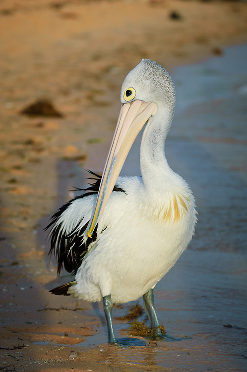 Stock photograph of a pelican (Pelecanus conspicillatus) at Monkey Mia, Shark Bay, Australia