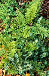 Foliage association of Arum italicum pictum with Polypodium 'Cornubiense'