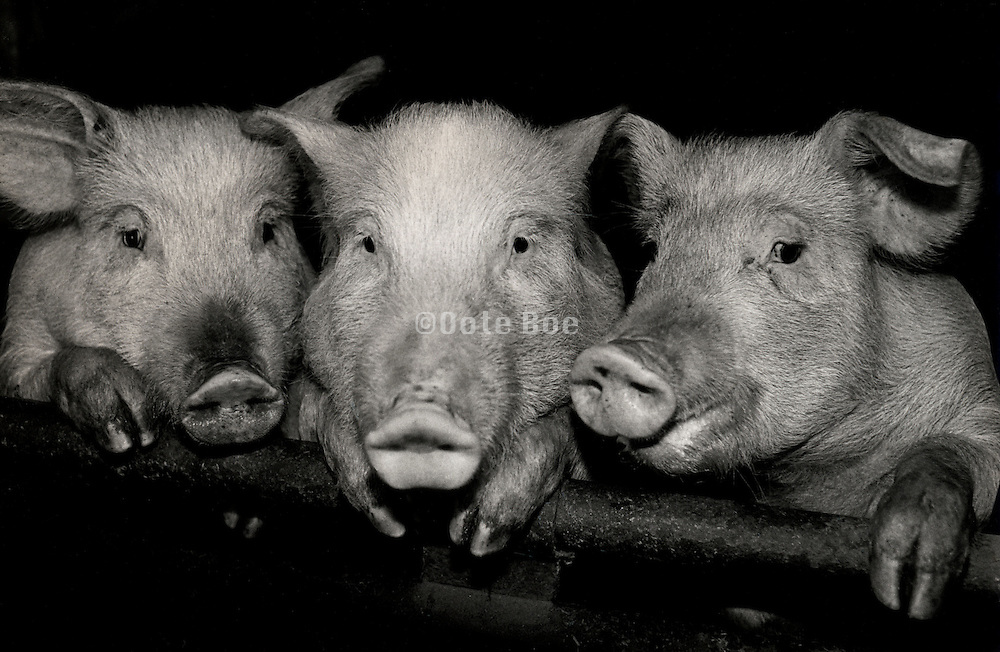 three little pigs posing for the camera