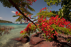"Flamboyant ""Christmas"" Tree (Delonix regia) at Vonu Point, Turtle Island, Yasawa Islands, Fiji"