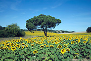 sunflower field Languedoc France