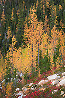 Subalpine Larches (Larix lyallii) in golden autumn color near Cutthroat Pass. North Cascades Washington