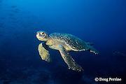 East Pacific green sea turtle or black sea turtle, Chelonia mydas agassizi, male, Galapagos Islands, Ecuador, ( Eastern Pacific )