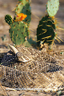 02905-00106 Western Diamondback Rattlesnake (Crotalus atrox) Starr Co. TX