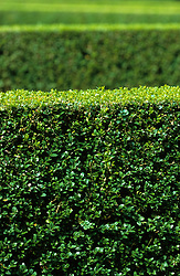 Clipped box hedging - Buxus