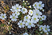 Field chickweed (Cerastium arvense) is a very common member of the pink and carnation family that grows natively throughout many places in the world. It is found in Europe, South American, and almost all of Canda and the United Staes excluding Nebraska, Oklahoma, Texas, the Carolinas, Alabama and Florida. These were found growing out of serpentine outcrops on Washington State's Fidalgo Island.
